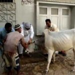 PAKISTAN: Barbaric and inhumane Islamic (halal) cattle slaughter gone wrong
